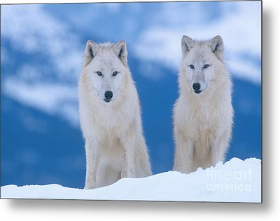 White Wolf Pair In Winter Metal Print by Alan and Sandy Carey