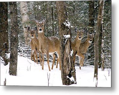 Whitetail Deer Odocoileus Virginianus Metal Print by Gregory K Scott