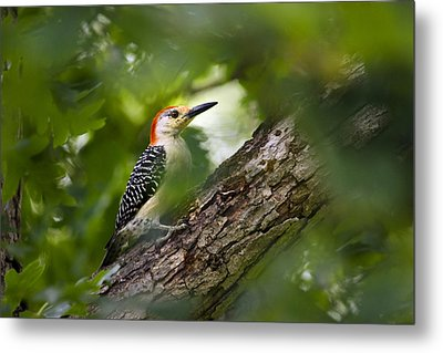 Red Bellied Woodpecker Metal Print by Christina Rollo