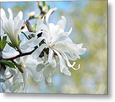 Wild Magnolia Blooms Metal Print by Pamela Patch