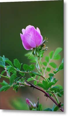 Wild Rose Metal Print by Kimberley Anglesey