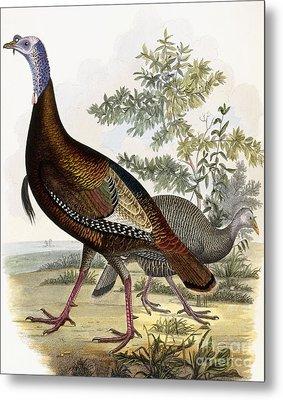 Wild Turkey Metal Print by Titian Ramsey Peale