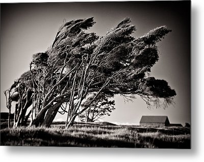 Windswept Metal Print by Dave Bowman