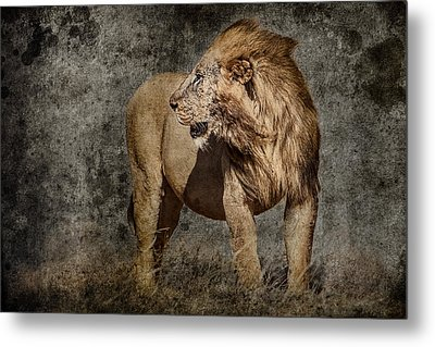 Windswept Lion Metal Print by Mike Gaudaur