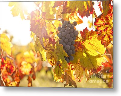 Wine Grapes In The Sun Metal Print by Diane Diederich