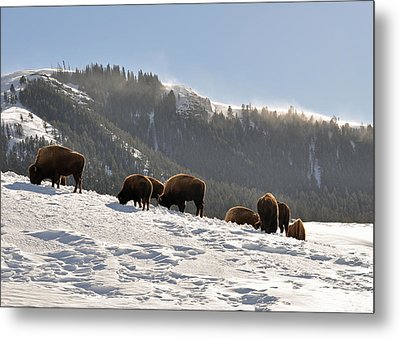 Winter Bison Herd In Yellowstone Metal Print by Bruce Gourley