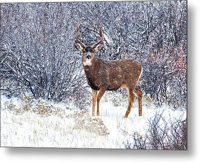 Winter Buck Metal Print by Darren  White
