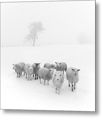 Winter Woollies Metal Print by Janet Burdon