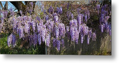 Wisteria Flowers In Bloom, Sonoma Metal Print by Panoramic Images