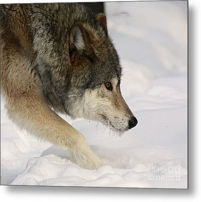 Wolf Dreams Metal Print by Inspired Nature Photography Fine Art Photography
