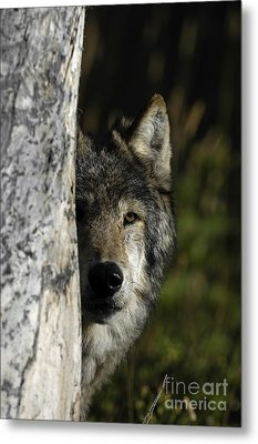 Wolf Hiding Metal Print by Wildlife Fine Art