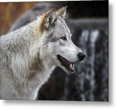 Wolf Smile D9933 Metal Print by Wes and Dotty Weber