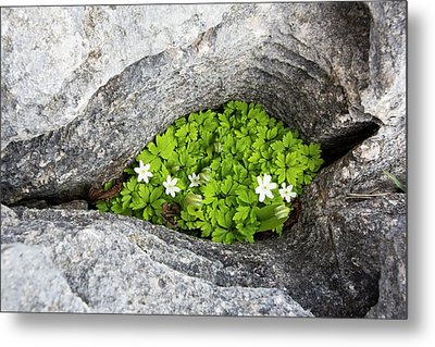 Wood Anemone Growing In A Gryke Metal Print by Ashley Cooper