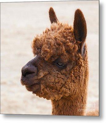 Woolly Alpaca Metal Print by Jerry Cowart