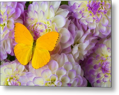 Yellow Butterfly On Dahlias Metal Print by Garry Gay