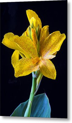 Yellow Canna Flower Metal Print by Garry Gay