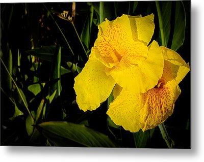 Yellow Canna Singapore Flower Metal Print by Donald Chen