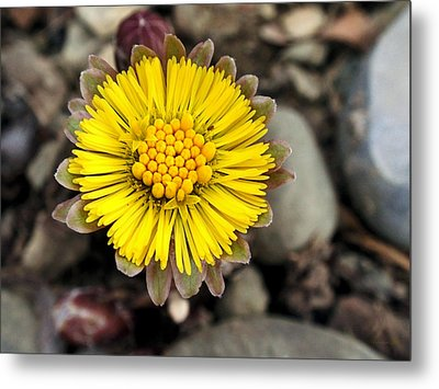 Yellow Coltsfoot Flower Metal Print by Christina Rollo