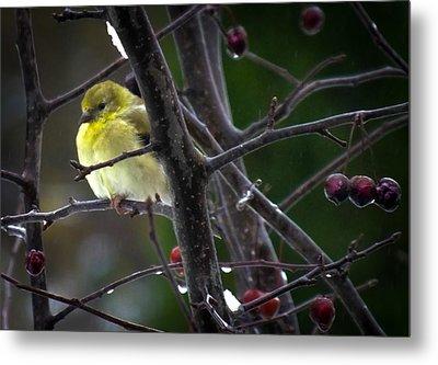 Yellow Finch Metal Print by Karen Wiles