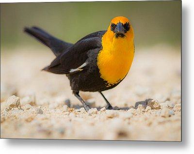 Yellow Headed Blackbird Metal Print by Chris Hurst