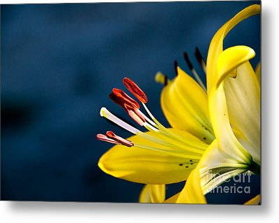 Yellow Lily Stamens Metal Print by Robert Bales