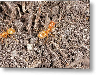 Yellow Meadow Ants Metal Print by Bob Gibbons
