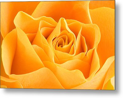Yellow Rose Metal Print by Tilen Hrovatic