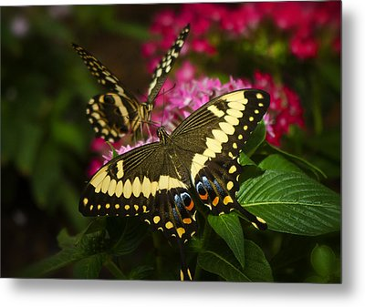 Yellow Swallowtail Butterflies  Metal Print by Saija  Lehtonen