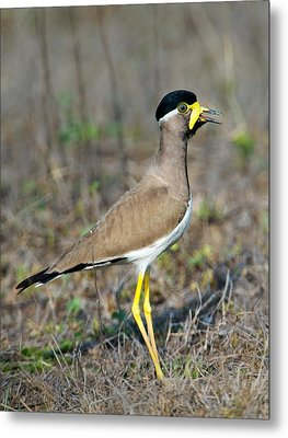 Yellow-wattled Lapwing Vanellus Metal Print by Panoramic Images