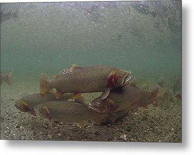 Yellowstone Cutthroat Trout In Stream Metal Print by Michael Quinton