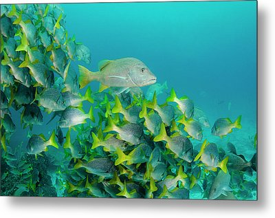 Yellowtail Grunt (anisotremus Metal Print by Pete Oxford