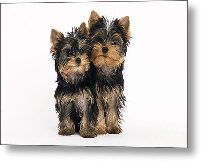 Yorkie Puppies Metal Print by Jean-Michel Labat