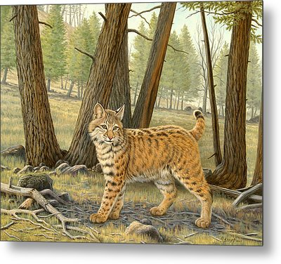 Young Bobcat    Metal Print by Paul Krapf