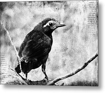 Young Grackle Metal Print by Cassie Peters