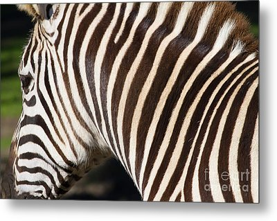 Zebra 7d8894 Metal Print by Wingsdomain Art and Photography
