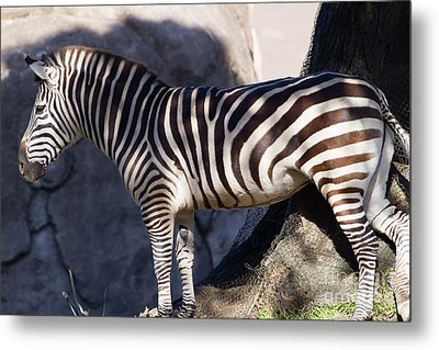 Zebra 7d8945 Metal Print by Wingsdomain Art and Photography