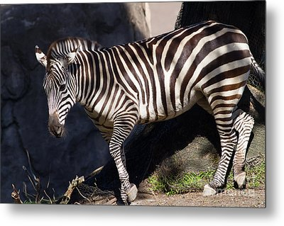 Zebra 7d8947 Metal Print by Wingsdomain Art and Photography