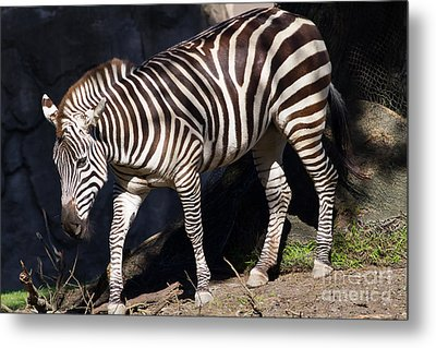Zebra 7d8948 Metal Print by Wingsdomain Art and Photography