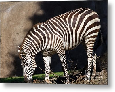 Zebra 7d8950 Metal Print by Wingsdomain Art and Photography
