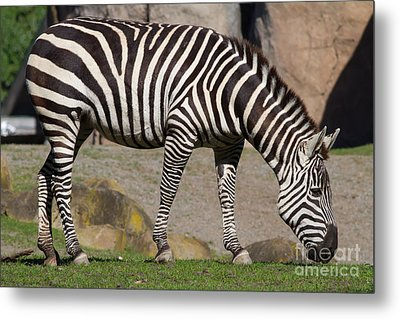 Zebra 7d8965 Metal Print by Wingsdomain Art and Photography