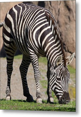 Zebra 7d8972 Metal Print by Wingsdomain Art and Photography