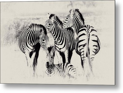 Zebra Foursome Metal Print by Christa Niederer
