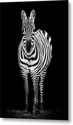 Zebra Metal Print by Paul Neville