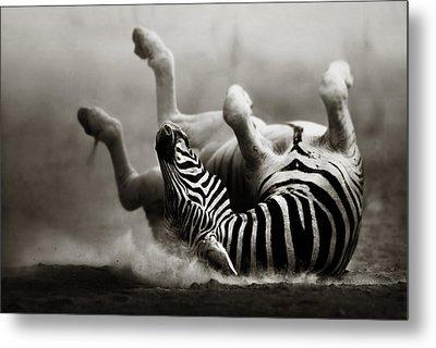 Zebra Rolling Metal Print by Johan Swanepoel