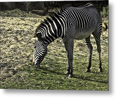 Zebra Striped Fourlegger Metal Print by LeeAnn McLaneGoetz McLaneGoetzStudioLLCcom