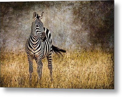 Zebra Tail Flick Metal Print by Mike Gaudaur