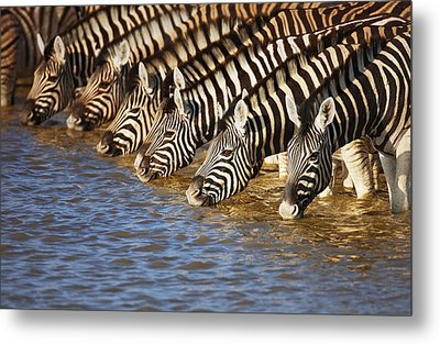 Zebras Drinking Metal Print by Johan Swanepoel