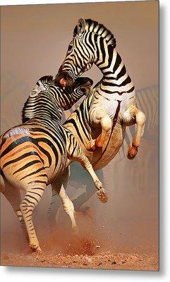 Zebras Fighting Metal Print by Johan Swanepoel