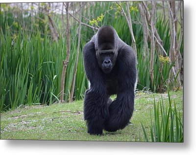 Zootography Of Male Silverback Western Lowland Gorilla On The Prowl Metal Print by Jeff at JSJ Photography