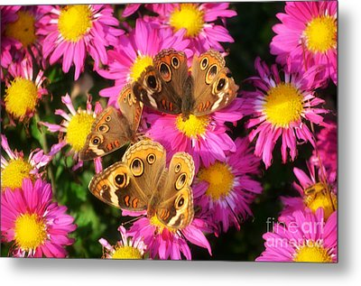 3 Beauty's Butterflies On Mum Flowers Metal Print by Peggy  Franz